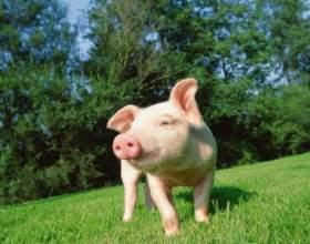 Как организовать свиноферму фото