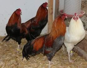 Как ощипать курицу фото