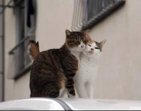 Как определить когда у кошки течка фото