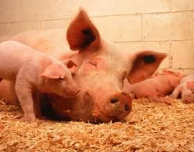 Как откормить свинью фото