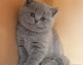 Как отличить британского котенка фото