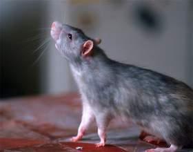 Как отличить крыс от мышей фото