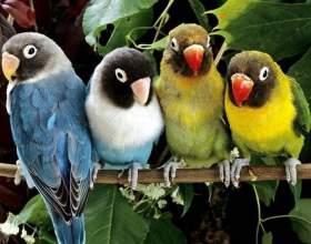 Как отличить попугаев-неразлучников фото