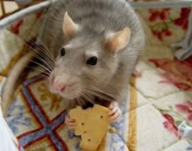 Как отличить самца от самки крысы фото