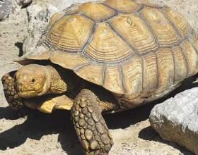Как отличить самку черепахи от самца фото