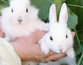 Как отличить самку кролика от самца фото