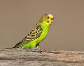 Как отличить самок попугайчиков от самцов фото