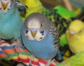Как отличить старого попугая от молодого фото