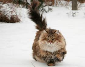 Как отличить тайскую кошку от других фото