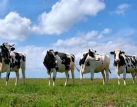 Как пасти коров фото