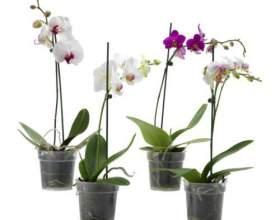 Как пересадить орхидею в домашних условиях фото