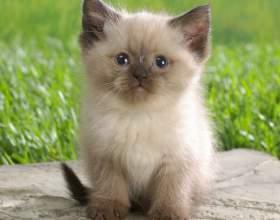 Как перевести котенка на сухой корм фото
