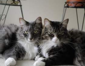 Как подружить двух котов фото