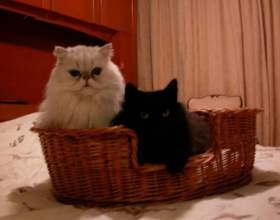 Как подружить кошку и котенка фото