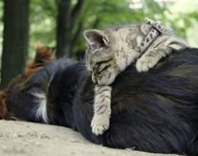 Как подружить кошку и щенка фото