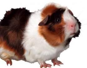 Как подстричь когти у свинки фото