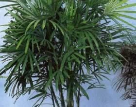 Как поливать пальму фото