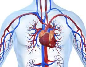 Как помочь работе сердечно-сосудистой системы фото