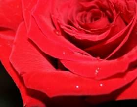 Как помочь розам дольше простоять фото