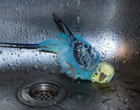 Как помыть попугая фото