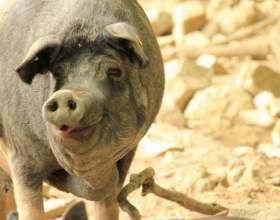 Как поражает африканская чума свиней фото