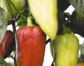 Как посадить перец на рассаду фото
