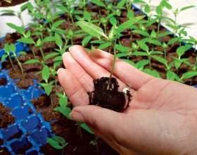 Как посадить рассаду цветов фото