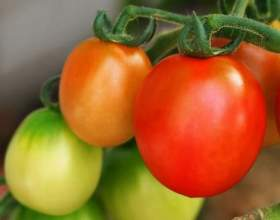 Как посадить рассаду томатов фото