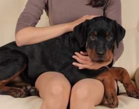 Как поставить собаке клизму фото