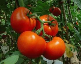 Как правильно поливать рассаду помидоров фото