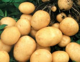 Как правильно посадить картофель, чтобы получить высокий урожай фото