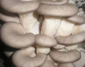 Как приготовить грибы вешенки фото