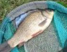 Как прикормить карася перед рыбалкой фото