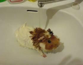 Как мыть морских свинок фото