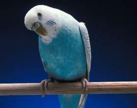 Как приручить волнистого попугайчика фото