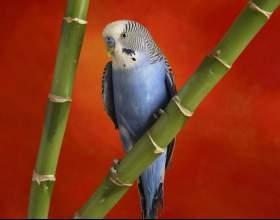 Как приручать волнистого попугая фото