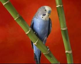 Как приручить волнистого попугая фото