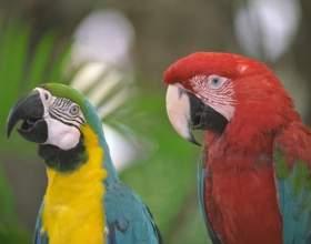 Как приручить дикого попугая фото