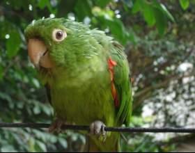Как приручить быстро попугая фото