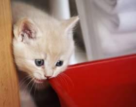 Как приучить к сухому корму котенка фото