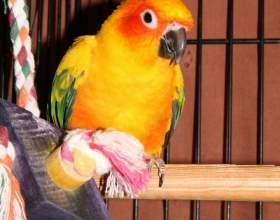 Как приучить попугая к клетке фото
