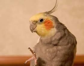Как приучить попугая к пальцу фото