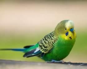Как приучить попугая к плечу фото