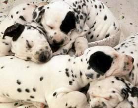 Как приучить щенка есть сухой корм фото