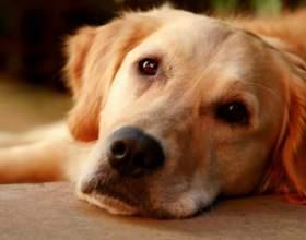 Как приучить к лотку взрослую собаку фото