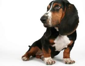 Как приучить щенка таксы к туалету фото