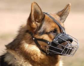 Как приучить собаку к наморднику фото
