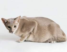 Как проходит беременность у кошек фото