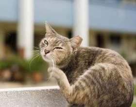 Как проявляется аллергия у кошки фото