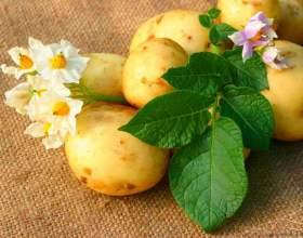 Как прорастить картофель для посадки фото